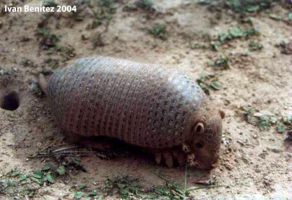 Chacoan naked-tailed armadillo