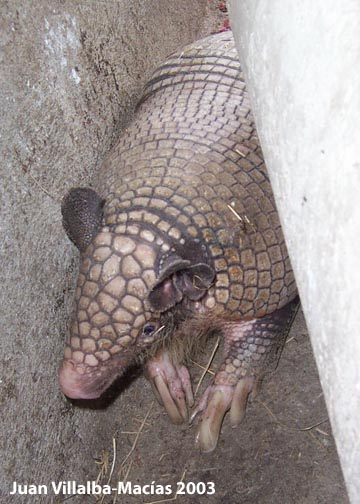 Greater naked-tailed armadillo