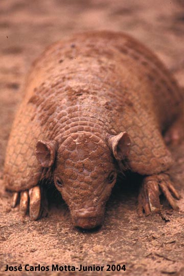 Southern naked-tailed armadillo