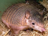 Little hairy armadillo