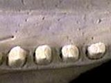 Nine-banded armadillo teeth