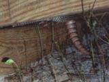 My nine-banded armadillo