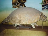 Glyptodon skeleton