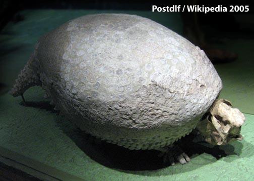 natural history   armadillo